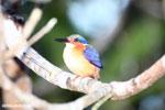 Madagascar kingfisher [madagascar_masoala_1055]