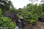 Mangrove forest [madagascar_masoala_1106]