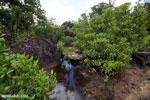 Mangrove forest [madagascar_masoala_1107]