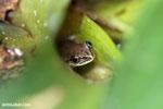 Heterixalus madagascariensis frog