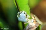 Madagascar Reed Frog