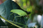Leaf katydid [madagascar_nosy_komba_0027]