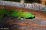 Gold dust day gecko (Phelsuma laticauda) [madagascar_nosy_komba_0030]