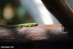 Gold dust day gecko (Phelsuma laticauda) [madagascar_nosy_komba_0031]