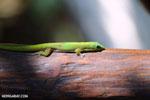 Gold dust day gecko (Phelsuma laticauda) [madagascar_nosy_komba_0032]