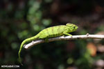Juvenile Furcifer pardalis chameleon [madagascar_nosy_komba_0036]