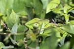 Juvenile panther chameleon [madagascar_nosy_komba_0037]