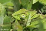 Juvenile panther chameleon [madagascar_nosy_komba_0039]