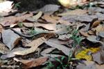 Zonosaurus laticaudatus lizard [madagascar_nosy_komba_0049]