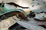 Zonosaurus laticaudatus lizard [madagascar_nosy_komba_0051]
