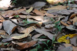 Zonosaurus laticaudatus lizard [madagascar_nosy_komba_0052]