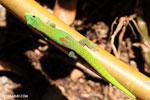 Gold dust day gecko (Phelsuma laticauda) [madagascar_nosy_komba_0064]
