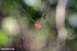 Crab spider [madagascar_nosy_komba_0074]
