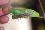 Yellow and pink caterpillar [madagascar_nosy_komba_0083]
