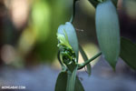 Vanilla orchid [madagascar_nosy_komba_0096]