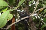 Male black lemur [madagascar_nosy_komba_0155]