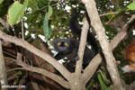 Male black lemur [madagascar_nosy_komba_0157]