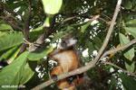 Female black lemur [madagascar_nosy_komba_0161]