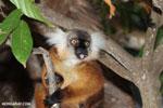 Female black lemur [madagascar_nosy_komba_0165]