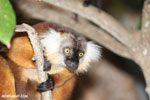 Female black lemur [madagascar_nosy_komba_0173]