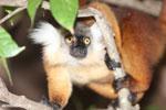 Female black lemur [madagascar_nosy_komba_0180]