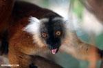 Female black lemur [madagascar_nosy_komba_0184]
