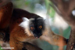 Female black lemur [madagascar_nosy_komba_0187]