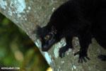 Male black lemur [madagascar_nosy_komba_0200]