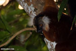 Female black lemur [madagascar_nosy_komba_0202]
