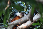 Female black lemur [madagascar_nosy_komba_0204]