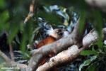 Female black lemur [madagascar_nosy_komba_0205]