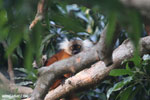 Female black lemur [madagascar_nosy_komba_0206]