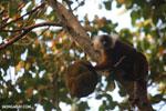 Female black lemur [madagascar_nosy_komba_0210]