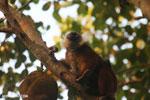 Female black lemur [madagascar_nosy_komba_0212]