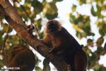 Female black lemur [madagascar_nosy_komba_0214]