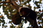 Female black lemur attempting to eat a jackfruit [madagascar_nosy_komba_0216]