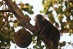 Female black lemur [madagascar_nosy_komba_0218]