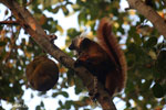 Female black lemur [madagascar_nosy_komba_0220]