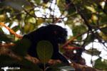 Male black lemur [madagascar_nosy_komba_0229]