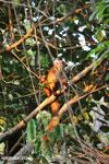 Female black lemur [madagascar_nosy_komba_0231]