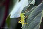 Green grasshopper [madagascar_nosy_komba_0239]