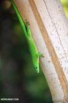 Madagascar giant day gecko (Phelsuma madagascariensis grandis) [madagascar_nosy_komba_0247]
