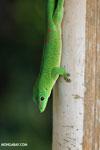 Madagascar giant day gecko (Phelsuma madagascariensis grandis) [madagascar_nosy_komba_0248]