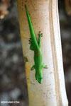 Madagascar giant day gecko (Phelsuma madagascariensis grandis) [madagascar_nosy_komba_0250]