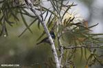 Malagasy Green Sunbird (Cinnyris notatus)