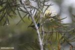 Madagascar Green Sunbird (Cinnyris notatus)