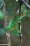 Parson's chameleon [madagascar_perinet_0045]