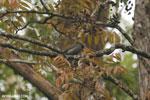 Madagascar Bulbul (Hypsipetes madagascariensis)