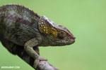 Elephant-eared chameleon (Calumma brevicornis)