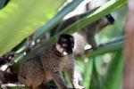 Common brown lemur (Eulemur fulvus) [madagascar_perinet_0089]
